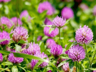 Клевер луговой: лечебные свойства и противопоказания