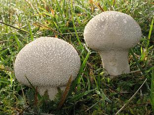 Чем полезны грибы дождевики, как ех применять