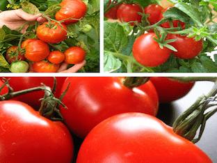 При каких заболеваниях лечит томатный сок