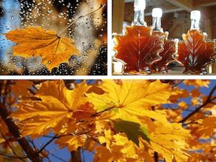 Как применять кленовые листья при лечении заболеваний