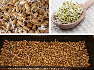 Чем полезна пророщенная пшеница для организма, как ее проращивать