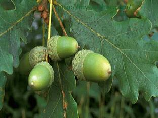Полезные свойства дуба обыкновенного