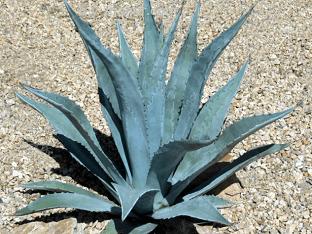 Чем полезна агава
