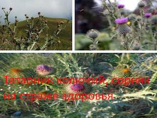 Татарник колючий, сорняк на страже здоровья