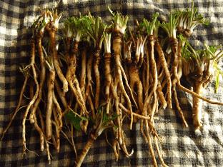 Что лечит корень одуванчика, его полезные свойства
