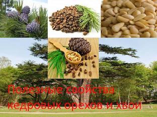 Полезные свойства кедровых орехов и хвои