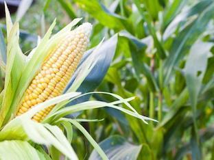 В чем польза кукурузы для здоровья, применение