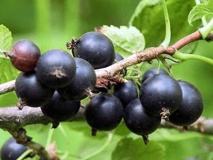 Чем полезна черная смородина для организма человека?
