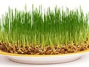 Чем полезна пророщенная пшеница - как правильно прорастить и употреблять зерна