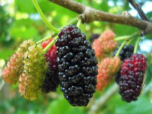 Где растет шелковица, польза и вред ягод тутовника