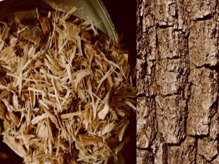 Использование коры дуба и его лечебных свойств и предупреждение противопоказаний