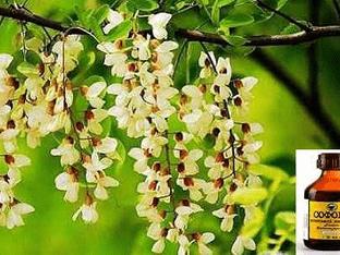 Настойка софоры японской: как приготовить средство для здоровья и молодости