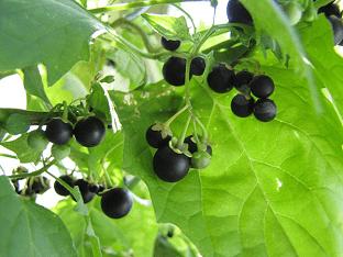 Чем полезен паслен черный, его лечебные свойства и вред