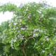 Чем полезно гваяковое дерево, как его применять?