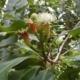 Чем полезно гвоздичное дерево, как его применять?