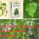 Как применять березовые листья при лечения заболеваний?