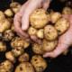 Какие есть лечебные свойства картошки?