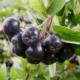 В чем польза аронии черноплодной (Aronia melanocarpa)?