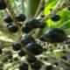 Что такое ягоды асаи, какая у них польза?