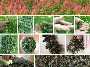 Чем полезен чай кипрей для здоровья
