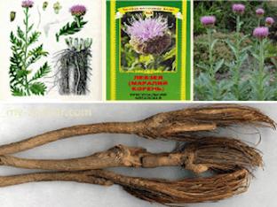 Какие лечебные свойства у левзеи(маральего корня)